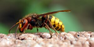 yellow jackets - pest control